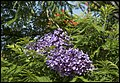 Last of the Jacaranda-1 (23748696896).jpg