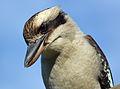 Laughing kookaburra - Dacelo novaeguineae.jpg