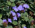 Leadwort, Hardy Blue Plumbago (Ceratostigma plumbaginoides).jpg
