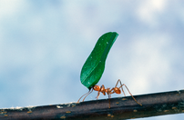 Leaf-cutter ants can take over when predator p...