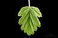 Leaf of Malus florentina - Florentine crabapple - hawthorn-leaf crabapple - Italienischer Zierapfel.jpg