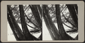 Leaning trees encircling edge of beach, from Robert N. Dennis collection of stereoscopic views.png