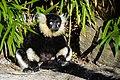 Lemur (25727793607).jpg