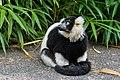 Lemur (36276379963).jpg