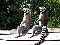 Lemur catta - geograph.org.uk - 873226.jpg