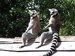 Ring-Tailed Lemurs enjoying the sunshine at Monkey World, Dorset, England.