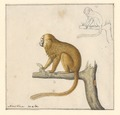 Leontopithecus rosalia - 1788-1863 - Print - Iconographia Zoologica - Special Collections University of Amsterdam - UBA01 IZA1000466.tif