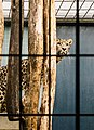 Leopard (Unsplash).jpg
