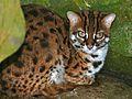 Leopard Cat (Prionailurus bengalensis borneoensis) (7136074909).jpg