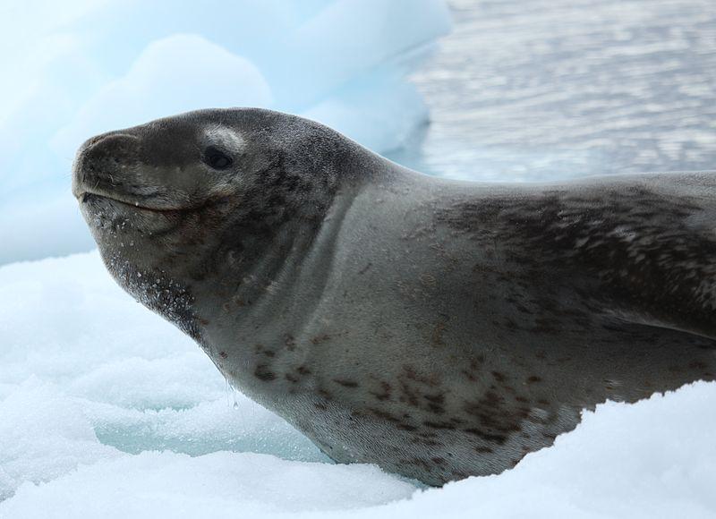 File:Leopard Seal in Pléneau Bay, Antarctica (6058748743 ...