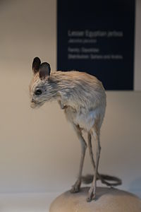 Lesser Egyptian jerboa (Jaculus jaculus), Natural History Museum, London, Mammals Gallery.JPG