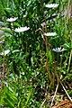 Leucanthemum vulgare (2) (8824755482).jpg