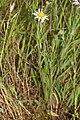 Leucanthemum vulgare 0078.JPG