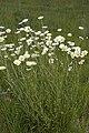 Leucanthemum vulgare champs-devaugerme-chateau-thierry 02 13052007 2.jpg