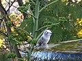Leucistic Allen's Hummingbird (39864307233).jpg