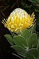 Leucospermum conocarpodendron subsp. viridum 1DS-II 5738.jpg