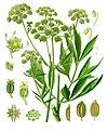 Levisticum officinale - Köhler–s Medizinal-Pflanzen-217.jpg