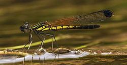 Libellago lineata male-Kadavoor-2015-08-21-001-cropped.jpg