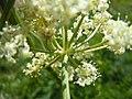 Ligusticum filicinum (6120469237).jpg