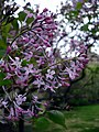Lilac Close Up (4631163345).jpg
