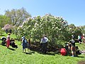 Lilac Sunday 2014, Arnold Arboretum, Jamaica Plain MA.jpg