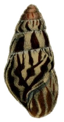 Limicolaria martensiana shell.png