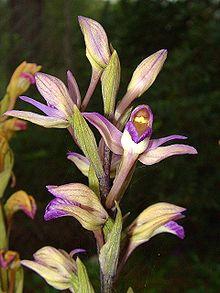 Il Limodorum abortivum è un'orchidea cleistogama facoltativa.
