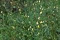 Linaria vulgaris-Linaire commune-20170907.jpg