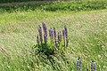 Lingen - Speicherbecken Geeste + Lupinus polyphyllus 03 ies.jpg