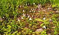 Linnaea borealis, Huopana, Länsi-Suomen, Finland 1.jpg