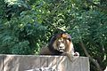 Lion at the Smithsonian National Zoological Park.jpg