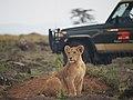 Lions @ Maasai Mara (20809059232).jpg