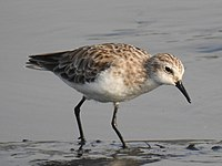Little Stint Calidris minuta by Dr. Raju Kasambe DSCN9671 (6).jpg