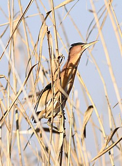 Little bittern, Ixobrychus minutus, at Marievale Nature Reserve, Gauteng, South Africa (14249572119).jpg