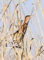 Little bittern, Ixobrychus minutus, at Marievale Nature Reserve, Gauteng, South Africa (14249572119).jpg