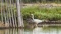 Little egret, Lido de Thau 01.jpg