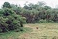 Lobéké buffalo.jpg