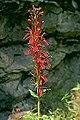 Lobelia cardinalis 7zz.jpg