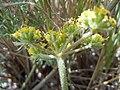 Lomatium foeniculaceum (5833819747).jpg