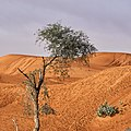 Lonely desert tree.jpg