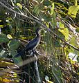 Long-tailed Cormorant.jpg