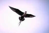 Long-tailed Skua in flight.jpg