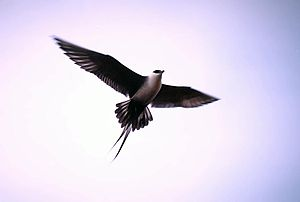 Long-tailed jaeger - Long-tailed jaeger in flight