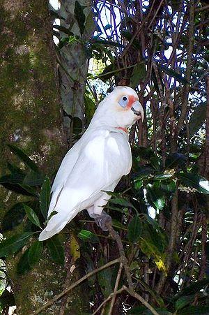 Long-billed corella - Wild bird in a Coachwood/Native Daphne rainforest at Ourimbah, NSW