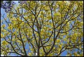 Looking through a Yellow Tree-1 (22480921030).jpg