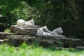 Loups arctiques DSCF4948.jpg