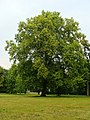 Lubostroń, park, ok. 1800 - platan klonolistny.JPG