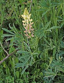Lupinus gredensis 20140417.jpg