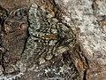 Lycia hirtaria ♂ - Brindled beauty (male) - Пяденица-шелкопряд бурополосая (самец) (39117613160).jpg