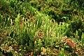 Lycopodium Spec. (Söderåsen) (30789350760).jpg